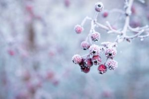 木の実に雪が降りかかっている