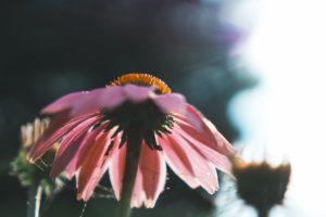 ピンクのお花のアップの写真